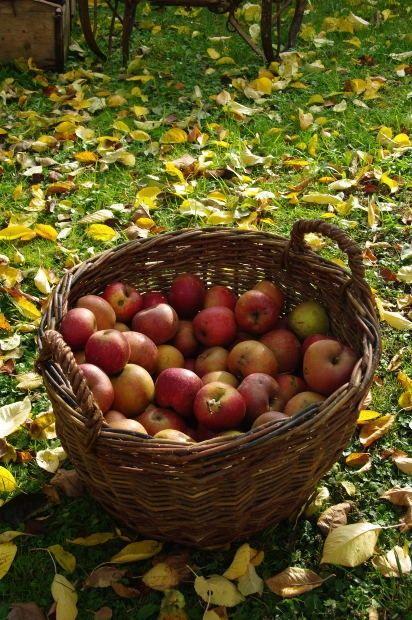Autumn's apples.: