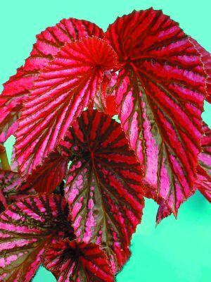 Angel Wing Begonia: