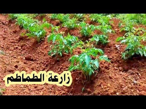 زراعة الطماطم بكل سهولة خلال فترة قصيرة جدا Youtube Plants Home Cooking