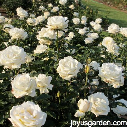 """A bed of """"Whisper"""" roses - a strong hybrid tea"""