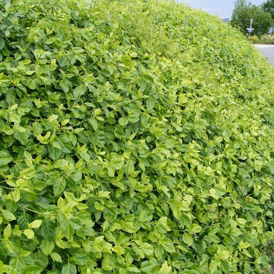 Euonymus fortunei 'Coloratus' - Fusain de Fortune persistant vert couvre-sol