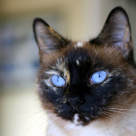 Applehead Siamese Cats What Are They Siameseofday In 2020 Siamese Cats Blue Point Most Popular Cat Breeds Siamese Cats