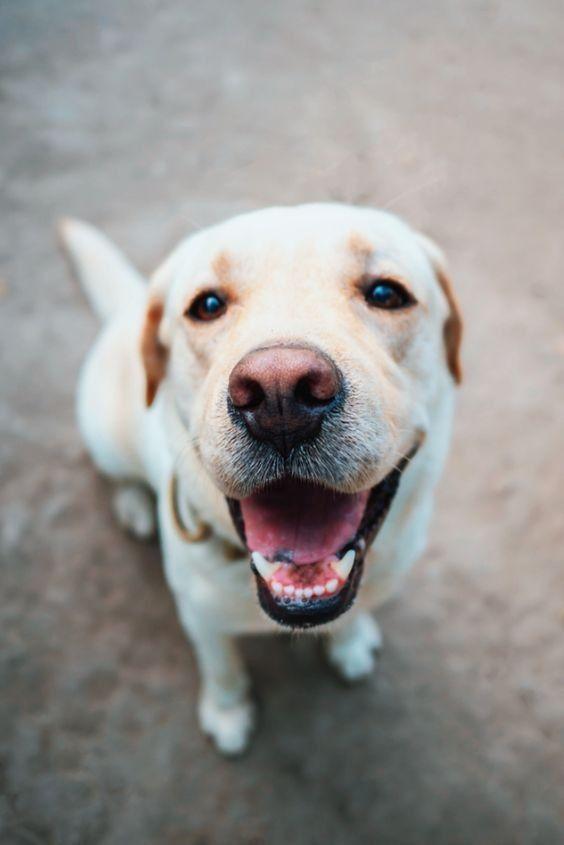 Pin De Darryl Dela Cruz En Dog Borstal En 2020 Perro Labrador