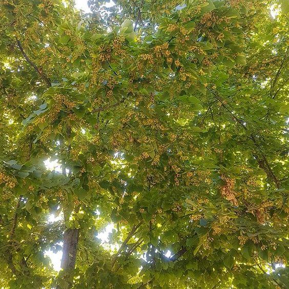 Alzi la mano chi ama il profumo dei tigli e in questo momento gira annusando l'aria. Ho scoperto che siamo in tanti ad amare questo profumo ci mette di buon umore ci evoca ricordi di infanzia ci fa stare bene per me dovrebbe essere patrimonio mondiale del benessere. Anche voi girate naso all'insù Come Me? #verdiecontenti #greenblog #tigli #tiglio #profumoditiglio #estate2019 #profumibuoni #profumidinfanzia #nasoallinsu #vivigreen #nature
