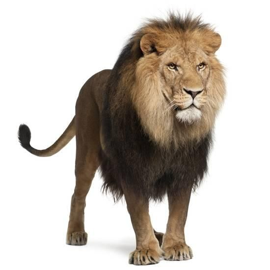 Lion Panthera Leo 8 Years Old Standing In Front Of White Background Photographic Print Life On White Allposters Com In 2021 Lion Images Panthera Leo Lion Wallpaper