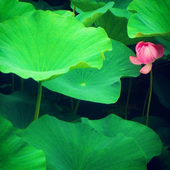 «Green and lush! #UploadKompakan #UkDauns @uploadkompakan #green #waterlilies»