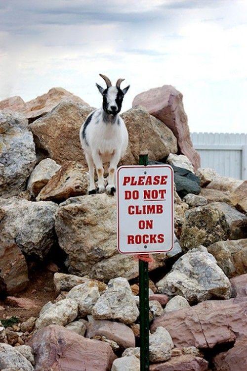 Rebel goat.
