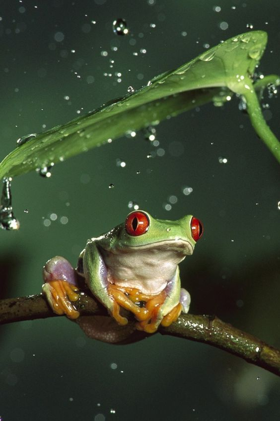 640-Red-Eyed-Tree-Frog-l