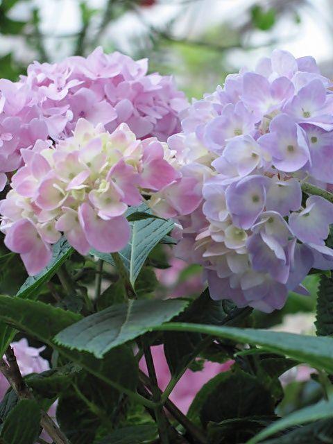 Blue Hortensia: U carstvu hortenzija...