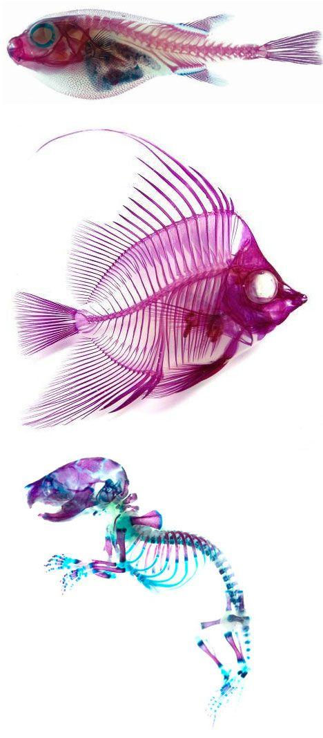 Voici les « New World Transparent Specimen« . Des chercheurs Japonais ont réussi à rendre la peau et les muscles de petits animaux transparents et à colorer leur os. On les trouve maintenant vendu dans des petits flacons rempli de liquide transparent.  Le résultat est assez beau, nous en avons vu ce weekend au festival d'art Design Festa à Odaïba. Science ? Œuvres d'art ? Limites éthiques ou jouets de savants fou ? A vous de me dire…