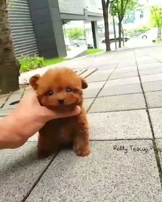 Cute Teacup Puppies Cuteteacuppuppies Cute Teacup Puppies Cute Dogs And Puppies Teacup Puppies
