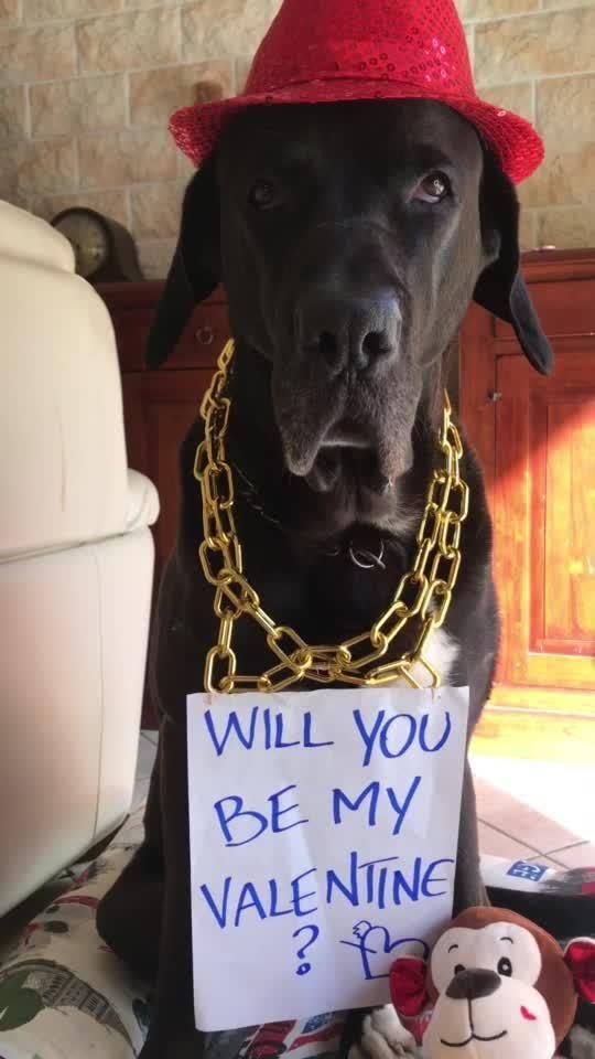 Who Is Your Valentine Comedy Lol Dog Animal Valentinesday Thatsamore Jessi Sean Tiktok Global Vi Animals Be My Valentine Labrador Retriever