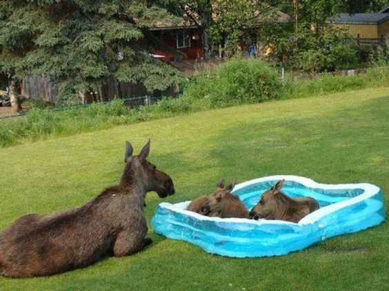 Moose in a pool during Summer