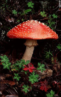 September is National Mushroom Month. There are many toxic mushrooms so don't take them unless you know what you are doing. -- This mushroom is pretty, but very toxic.( common sense should prevail !! This clearly has distinct possibility to be toxic as obvious bright red in colour / innocent brown ones can be as deadly !! If no real expert to confirm edible / obviously if in doubt /leave it out !! Instead enjoy your walk in the woods and stay safe / Health and safety matters as location…