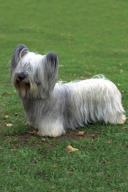 The Skye Terrier A Complete Guide Dog Breeds Terrier Dog