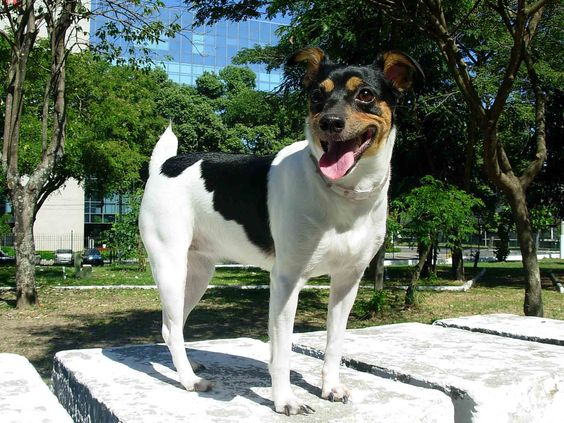 Very best known for its spunky and outgoing nature, the Brazilian Terrier is full of character.