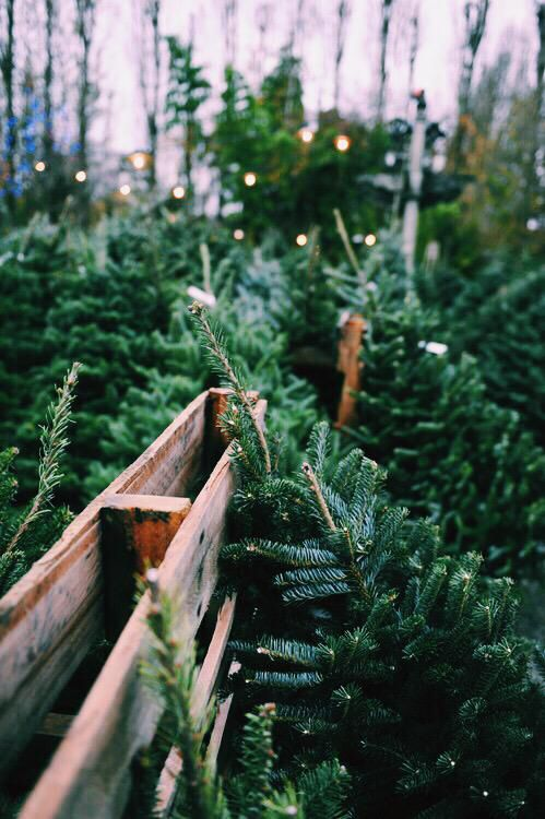Trees christmas trees and iphone wallpapers on pinterest - Pine tree wallpaper iphone ...