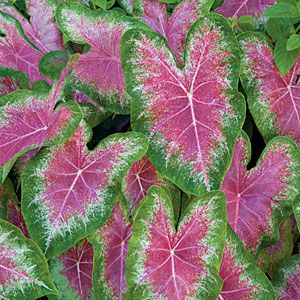 How to grow Caladiums also known as elephant ears.  Some newer varieties can take direct sun (like Gingerland).  Good for lighting up shady places.  They will come back the following year if you leave the tublars intact.