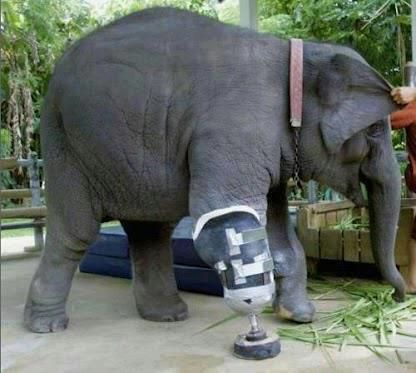 After this elephant was injured by poachers veterinarians gave him a new lease on life with a prosthetic leg.