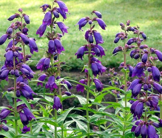 Common Purple Garden Flowers penstemon burford purple | gardening | pinterest | gardens