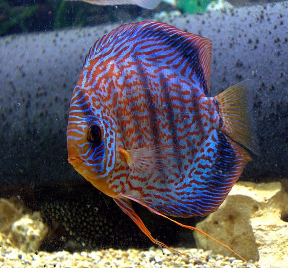 Discus fish tanks for hubby pinterest art discus for Best place to buy discus fish
