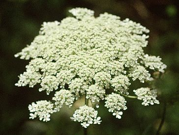 """Queen Anne's lace earned its common name from a legend that tells of Queen Anne of England (1665-1714) pricking her finger & a drop of blood landed on white lace she was sewing. Belonging to the carrot family, it is a biennial that is also known as wild carrot.""   I have loved the Queen Anne's Lace flower ever since I was a little girl...picking them in the backyard, putting each one in a different glass & adding food coloring to each glass but one.  Definitely the only 'carrot' I like."