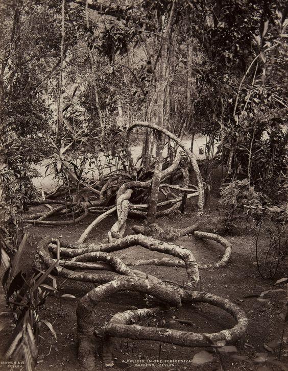 Peradeniya Gardens, Ceylon | Charles T. Scowen | albumen print, 1870