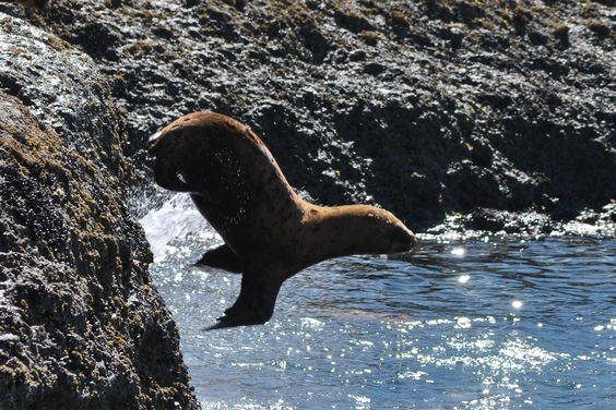 Lobo Marinho - belo mergulho - Patagônia Argentina 2014
