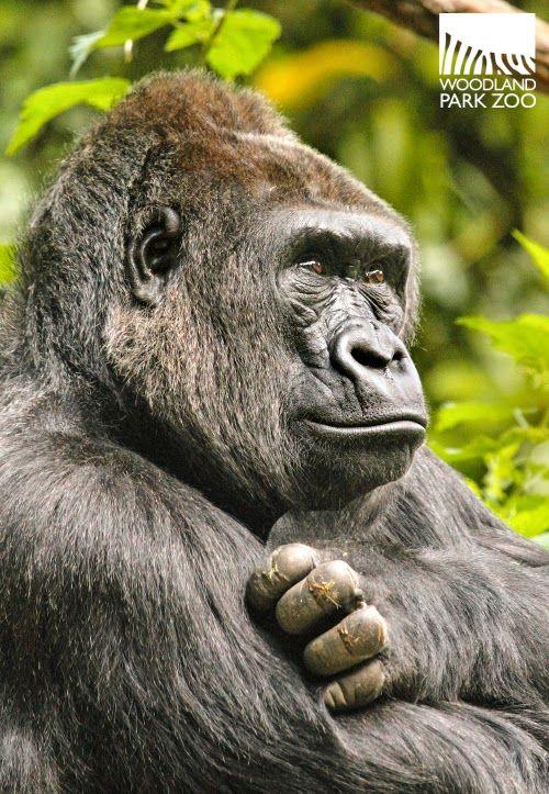 Woodland Park Zoo Blog 10 Gorillas 3 Groups 2 Exhibits Gorilla Woodland Park Zoo Zoo Adventure