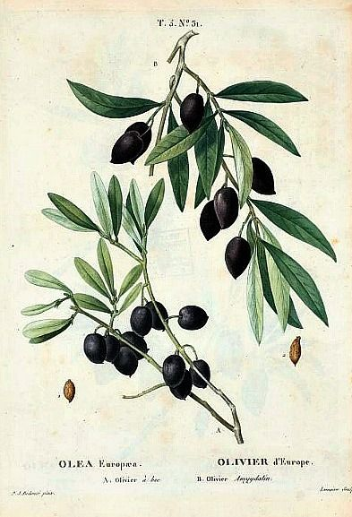 Olea Europea is a species of small tree in the family Oleaceae.The olive's fruit, also called the olive, is of major agricultural importance in the Mediterranean region as the source of olive oil.