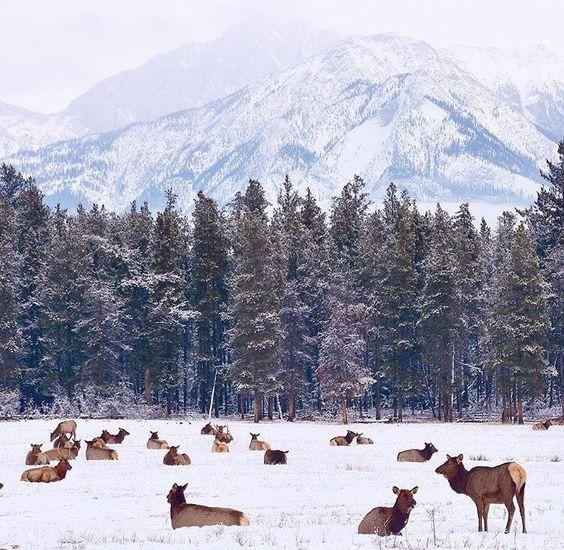 Elk by Jasper Park Lodge