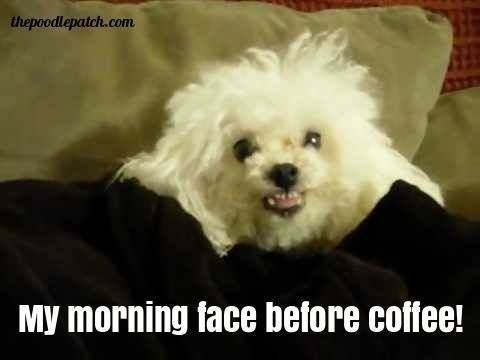 My Morning Face Before Coffee Poodle Dog Quotes Funny Animals
