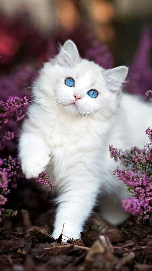 Les beaux yeux bleus de ce petit chat.