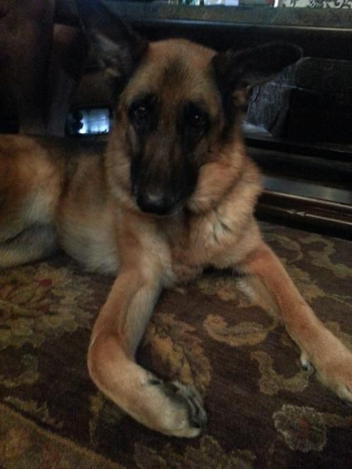 Meet Anke 2340, a Petfinder adoptable German Shepherd Dog Dog | Sterling, VA | You can fill out an adoption application online on our official website.Please contact Lisa and...