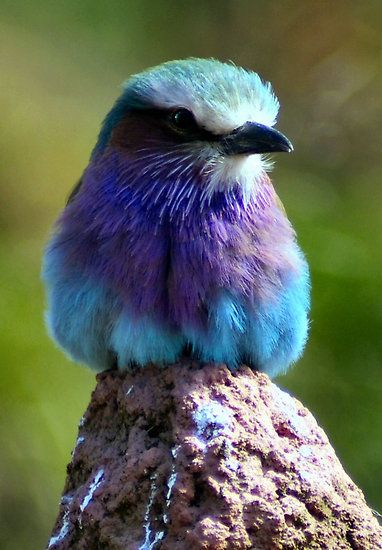 Lilac Fronted Roller
