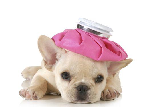 El moquillo canino, es una enfermedad contagiosa e incurable y con frecuencia fatal multisistémica viral, que afecta los sistemas respiratorio, gastrointestinal y sistema nervioso central. Moquillo es causado por el virus del moquillo canino (CDV). La incidencia de la enfermedad canina El moquillo canino se produce en todo el mundo, …