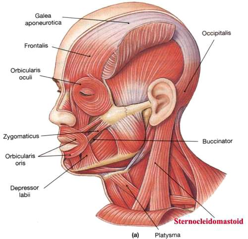 sternocleidomastoid muscle insertion points - google search, Human Body