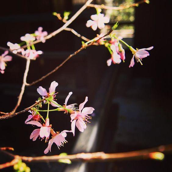 Japanese Cherry Blossoms (Sakura) at @descansogardens last week #garden #gardenersnotebook #closeup #flowers #tree #cherry #cherryblossoms #sakura #nature #outdoors