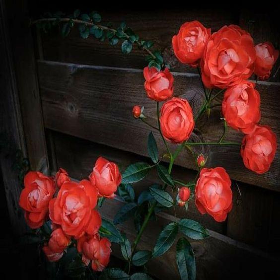 يا بني إنه من يرحم يرحم ومن يصمت يسلم ومن يقل الخير يغنم ومن لا يملك لسانه يندم لقمان الحكيم Plants Flowers Rose