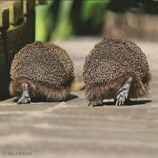 Hedgehogs are recognizable by their quills, which are sharp hollow hairs that serve as a defensive barrier. When under attack, the hedgehog goes into a ball with his quills sticking out.