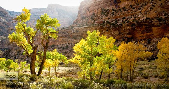 1364 Backlight Late afternoon backlight making the Fremont cottonwoods lining the arroyo glow with yellow. Buckthorn Draw San Rafael Swell Utah. 22 October 2014.