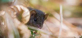 R A G News Humor E Curiosidade : Conheça o marsupial australiano que transa até morrer