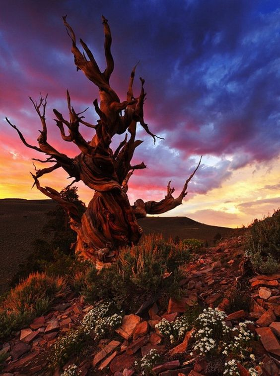 9 Photos of the Oldest Trees on the Planet, Older Than the Pyramids in Egypt  Love the dramatic sky