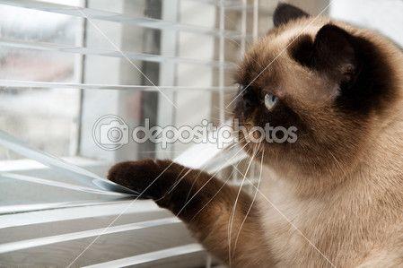Gato olhando do lado de fora através das cortinas de janela — Imagem de Stock #39120017
