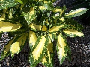 Aucuba japonica 'Picturata', four from Quackin Grass Nursery