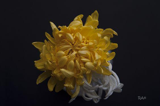 Crisantemo http://rappendino.wix.com/ra56