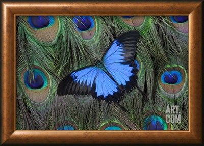 Blue Mountain Swallowtail Butterfly on Peacock Tail Feather Design Photographic Print by Darrell Gulin at Art.com