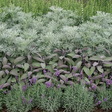 Lavender Tri Color Sage Artemesia All Silver Grey