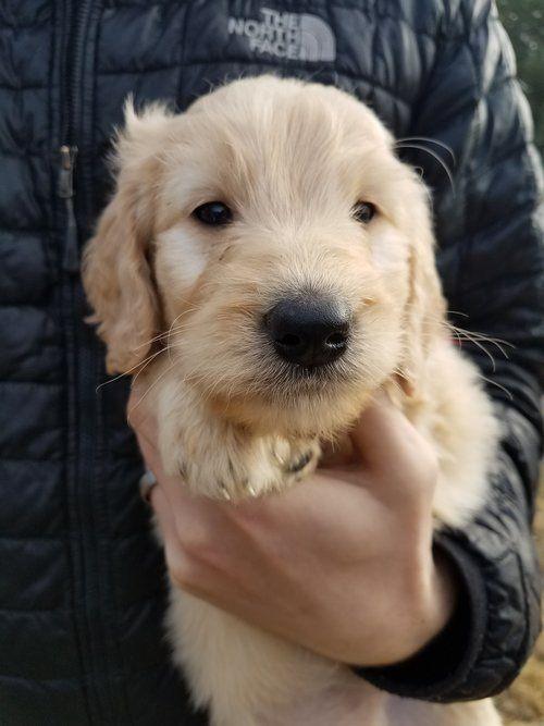 Golden Doodle Puppies For Sale Evergreen Doodlesfaq S Evergreen