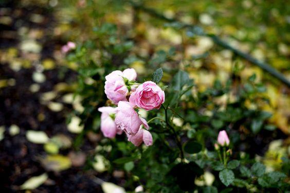 Roses by Elsa Billgren